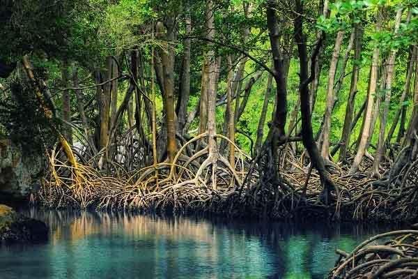 Khái niệm rừng ngập mặn ? - đặc điểm của rừng ngập mặn